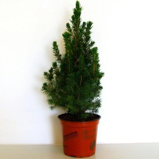 Picea glauca 'Conica' (Boomkwekerij Potcultuur Gebr. Rademaker)