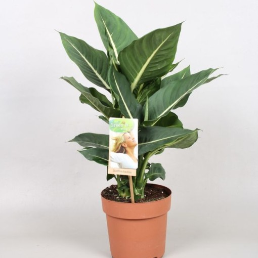 Dieffenbachia 'Green Magic' (Vireõ Plant Sales)