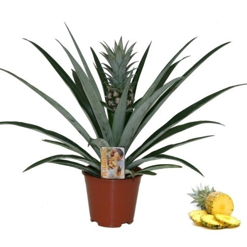 Ananas 'Champaca' (Ammerlaan, The Green Innovater)