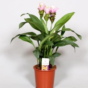 Curcuma alismatifolia SIAM SWEET