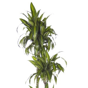 Dracaena fragrans 'Hawaiian Sunshine'