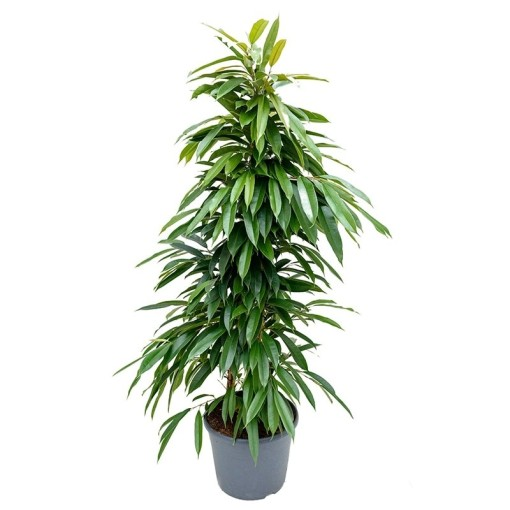 Ficus binnendijkii 'Amstel King' (Nieuwkoop Europe B.V.)