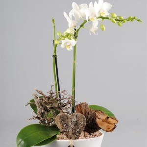 Arrangements Phalaenopsis 'PHAL-1733' (Mixt Creation BV)