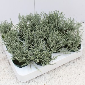 Olearia lepidophylla 'Silver Knight' (Experts in Green)