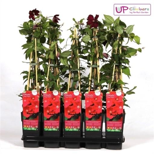 Clematis 'Rouge Cardinal' (Hoogeveen Plants)
