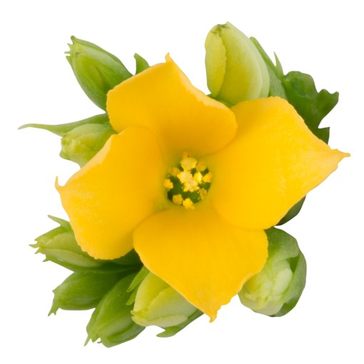 Kalanchoe blossfeldiana ORIGINALS ALEX (Queen - Knud Jepsen a/s)