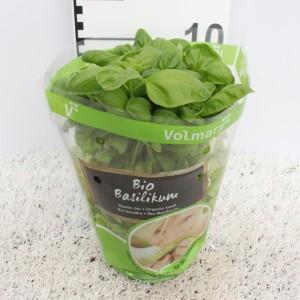 Ocimum basilicum (Experts in Green)