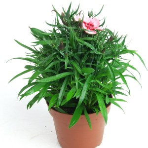 Dianthus chinensis 'Strawberry Parfait'
