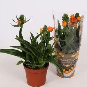 Ornithogalum dubium (Vreugdenhil Bulbs & Plants)