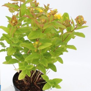 Hypericum x inodorum MAGICAL BEAUTY (About Plants Zundert BV)