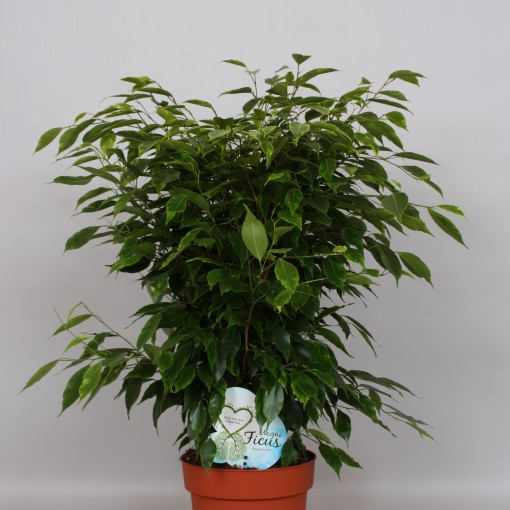Ficus benjamina 'Anastasia' (Peeters Potplanten)
