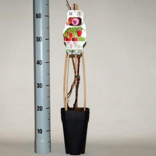 Rubus idaeus 'Aroma Queen' (BOGREEN Outdoor Plants)