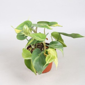 Philodendron scandens 'Brasil' (Vireo Plant Sales)