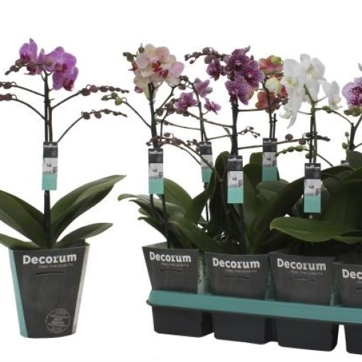 Phalaenopsis MULTIFLORA MIX (Ter Laak Orchids Midiflora)