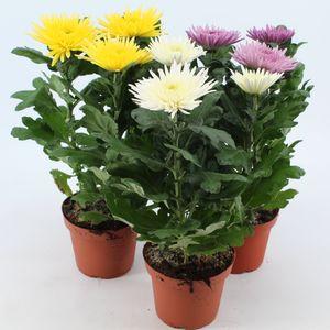 Chrysanthemum ANASTASIA MIX