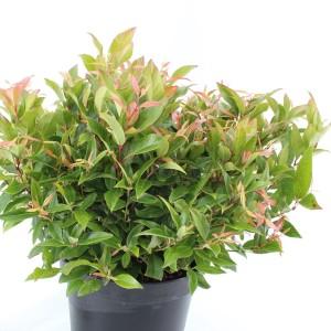 Leucothoe 'Zeblid' (About Plants Zundert BV)