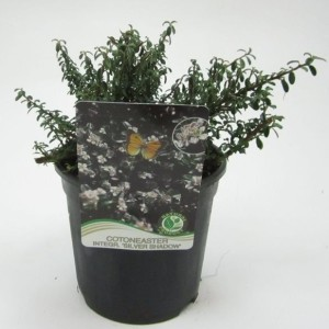 Cotoneaster integrifolius 'Silver Shadow' (WTM de Boer)