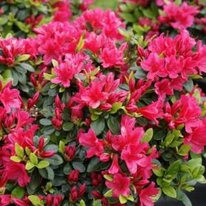 Rhododendron 'Geisha Red' (About Plants Zundert BV)