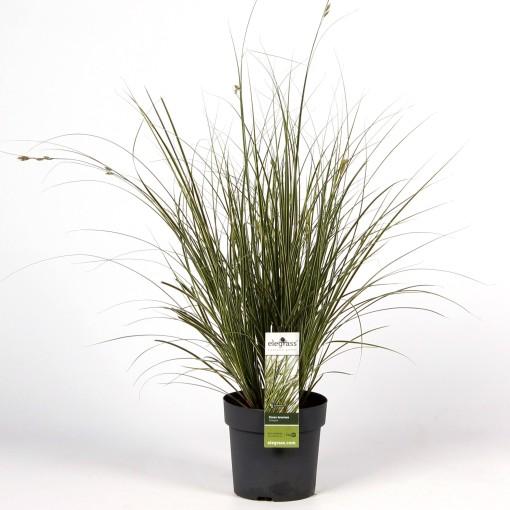 Carex brunnea 'Variegata' (Hoogeveen Plants)