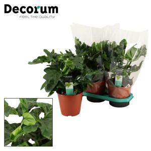 Philodendron bipinnatifidum 'Atom' (Kwekerij Montis Moerkapelle B.V.)