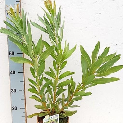 Protea neriifolia 'Cream Mink' (Flora Toscana)