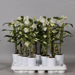 Dendrobium nobile STAR CLASS APOLLON
