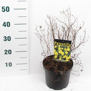 Potentilla fruticosa MIX (Elst-Bevers)