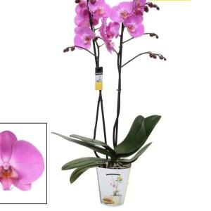Phalaenopsis ANTHURA LAS PALMAS