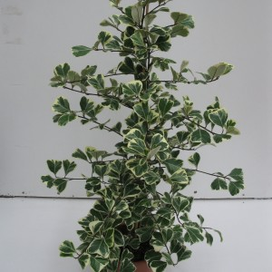 Ficus triangularis 'Variegata'
