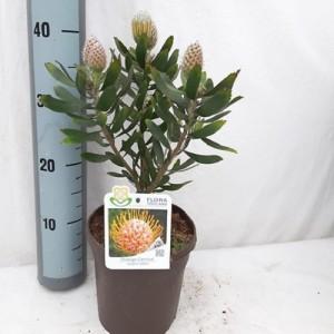 Leucospermum cuneiforme 'Carnival Orange' (Flora Toscana)