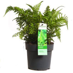 Polystichum tsus-simense (Hoogeveen Plants)