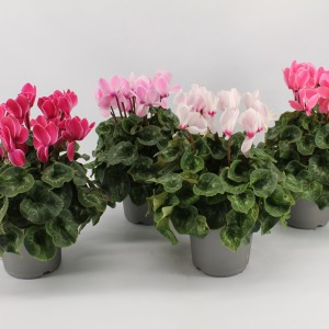 Cyclamen persicum SUPER SERIE MAMMOTH MIX (Kwekerij Jan van der Knaap)