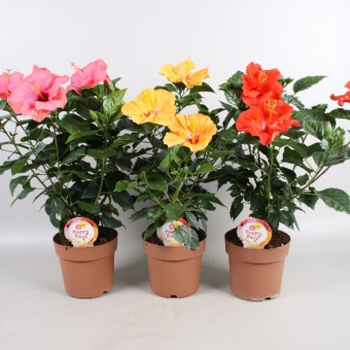 Hibiscus rosa-sinensis HAPPY DAYS MIX (Vireõ Plant Sales)