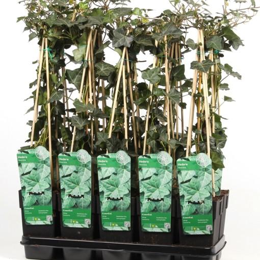 Hedera hibernica (Hoogeveen Plants)