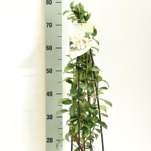 Trachelospermum jasminoides 'White Wings' (Dool Botanic)