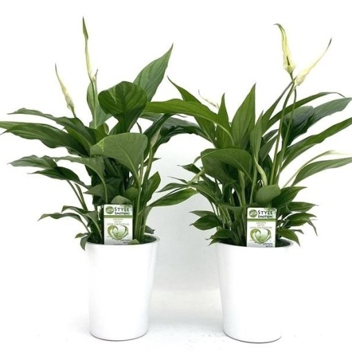 Spathiphyllum 'Cupido' (Westland Plant)