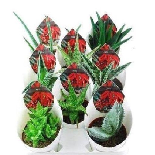 Aloe MIX (Giromagi)
