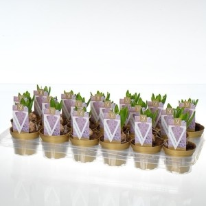 Hyacinthus orientalis 'White Pearl'