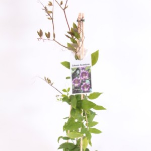 Cobaea scandens (Experts in Green)