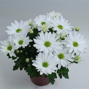 Chrysanthemum BREEZE WHITE (Gebr Nederpel Potplanten)