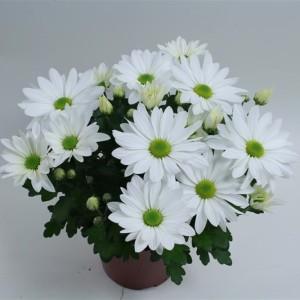 Chrysanthemum BREEZE WHITE