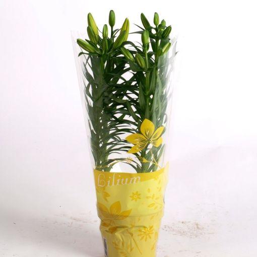 Lilium 'Golden Matrix' (Joy Plant)