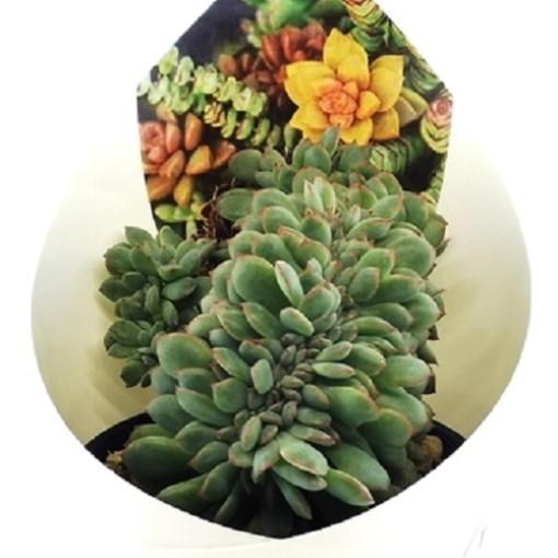 Echeveria 'Apus Cristata' (Giromagi)