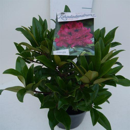 Rhododendron 'Marie Forte' (Floribras Garden Plants)