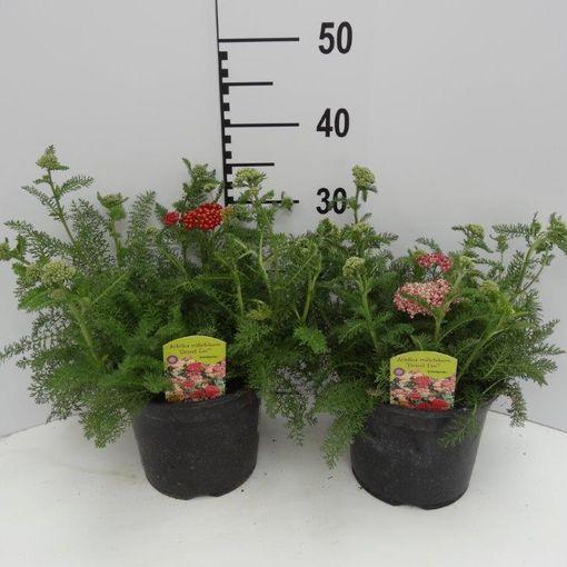 Achillea millefolium DESERT EVE MIX (Experts in Green)