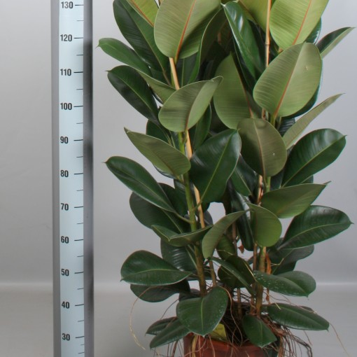 Ficus elastica 'Robusta' (De Amstel BV)