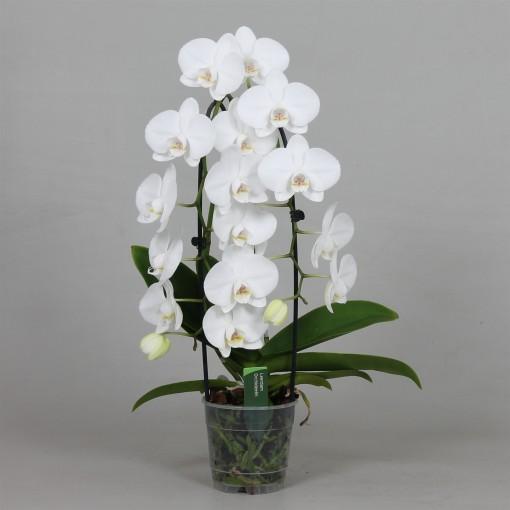 Phalaenopsis PURE SILK (Leerdam Orchideeën)