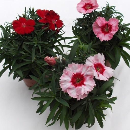 Dianthus RASPBERRY PARFAIT (Dehne Topfpflanzen)