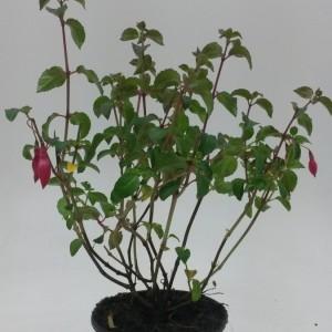 Fuchsia 'Mrs Popple' (WTM de Boer)