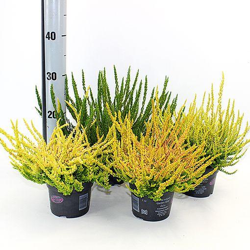 Calluna vulgaris SUNSET MIX (Experts in Green)